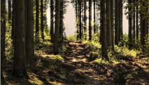 Bosque de coníferas