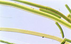 Cianobacterias Qué son, características tipos, función, nutrición, hábitat