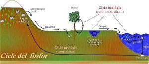 Ciclo del fósforo Qué es, características, etapas, beneficios, alteraciones