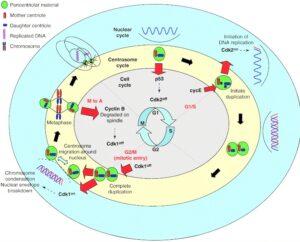 Centrosoma Qué es, características, estructura, función, ciclo, alteraciones