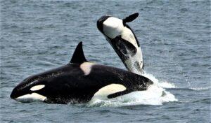 Cetáceos Qué son, origen, evolución, tipos, especies, características, hábitat