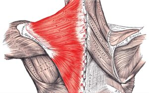 Músculo trapecio Qué es, características, función, ubicación, inserciones