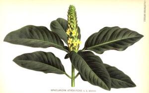 Aphelandra | Qué es, características, beneficios, reproducción, floración