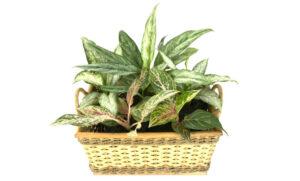 Dieffenbachia   Qué es, características, beneficios, reproducción, floración