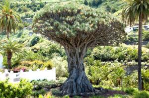Dracaena draco | Qué es, características, beneficios, reproducción, floración