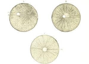 Ovocito | Qué es, características, partes, cómo se forma, función