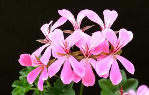 Pelargonium | Qué es, características, beneficios, reproducción, floración