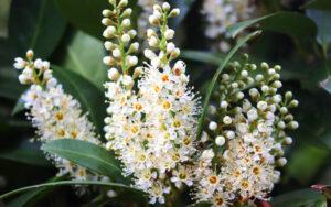 Prunus laurocerasus | Qué es, características, beneficios, reproducción, floración