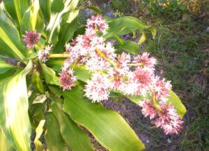 Tronco de Brasil   Qué es, características, beneficios, reproducción, floración