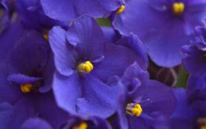 Violetas africanas | Qué es, características, beneficios, reproducción, floración